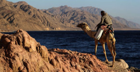 red-sea-camel